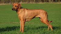Rhodeský ridgeback