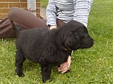 Štěňata Flat coated retriever