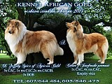 Ch.s.African Gold