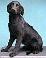 Prodám Flat Coated Retrievera