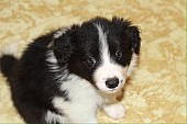 Border collie s PP