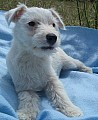 Jack Russell bez PP