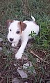 Jack-Parson Russell bez PP