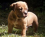 American Bully micro-exotic-exclusive