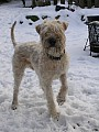 ŠTĚNĚ - IRISH SOFT COATED WHEATEN TERRIER