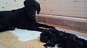Štěňata flat coated retriever s PP