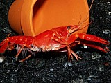 Rak - Procambarus clarkii orange