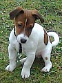 Jerry -jack russell teriér