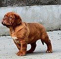 Bordeauxska doga, Dogue de bordeaux