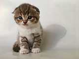 Pure Scottish Fold Kittens
