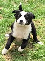 Border Collie Sheepdog Štěňátka