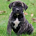 African Boerboel Mix Puppies