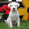 American Bulldog Puppies