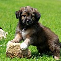 Australian Shepherd Mix-Miniature