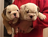 Available English bulldog puppies