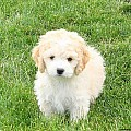 Bichon Mix