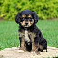 Cavalier King Charles Mix