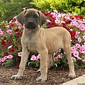 English Mastiff Mix