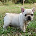 Arch French Bulldog puppy