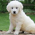 Golden Retriever-English Cream