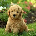 Goldendoodle-Miniature