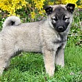 Keeshond Mix Puppies
