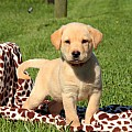 Labrador Retriever-Yellow