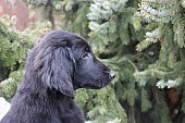 Flat Coated Retriever - štěňátka