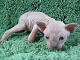 Male Sphinx Cat