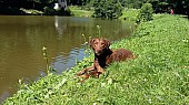 4 letý Chesepeake bay retriever s PP