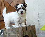Biewer york terrier s PP