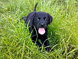 ...labradorský retriever...