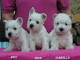 WEST HIGHLAND WHITE TERRIER - ŠTĚNÁTKA S PP