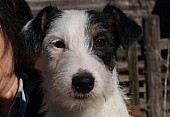Jack Russell Terrier s PP