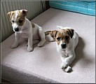 Jack russell terier