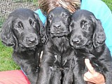 Flat Couted Retriever