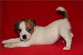 Jack russell terier s PP