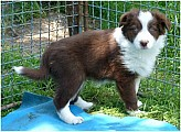 Border collie x australský ovčák